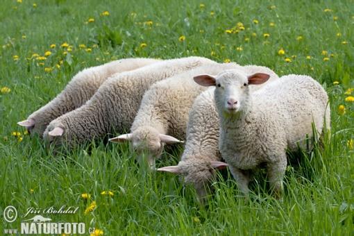 sheeps-54913